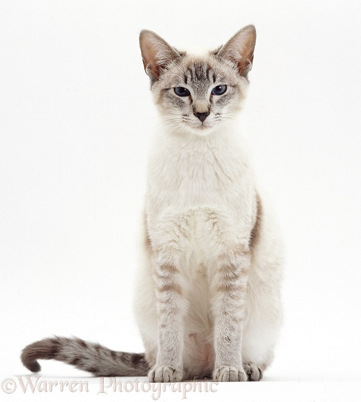 Lilac-point Siamese cat sitting, white background
