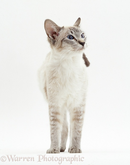 Lilac-point Siamese cat, white background