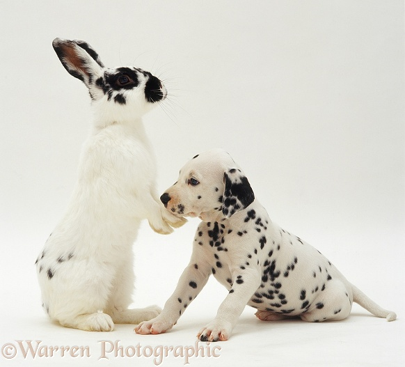 Black-spotted white male rabbit Womble with a Dalmatian pup, white background