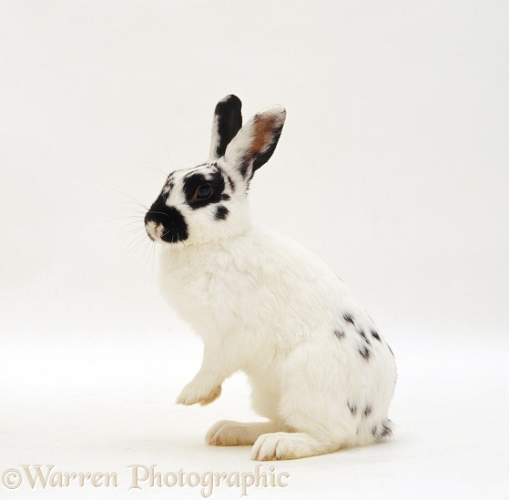 Black-spotted white male rabbit Womble, white background