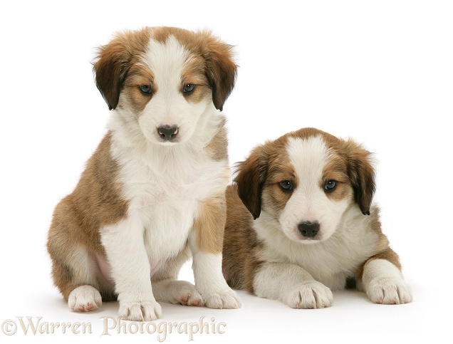 Sable-and-white Border Collie pups, white background
