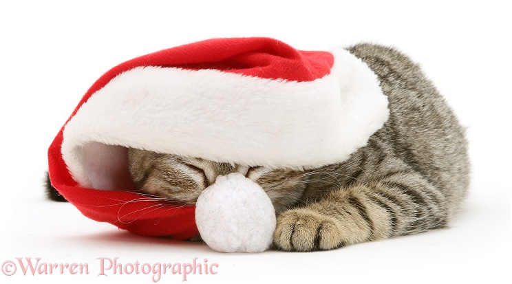 Sleepy tabby cat Tiger Lily wearing a Father Christmas hat, white background