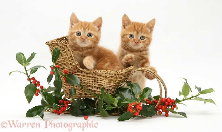 Red tabby British Shorthair kittens with a festive gold sledge and holly