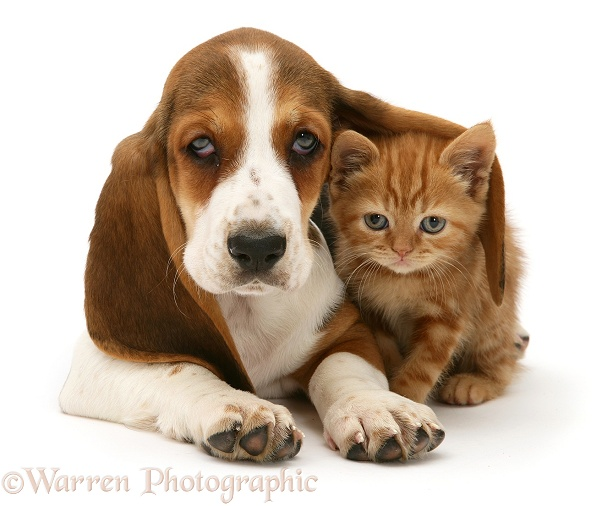 Ginger kitten and Basset pup, white background