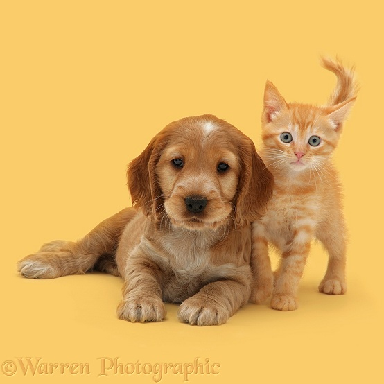 Golden Cocker Spaniel puppy and British Shorthair red tabby kitten, white background