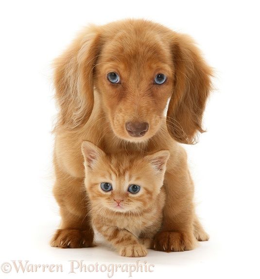 Cream Dapple Miniature Long-haired Dachshund pup with British Shorthair red tabby kitten, white background