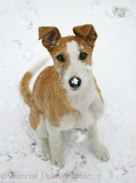 Lurcher Kipling in the snow