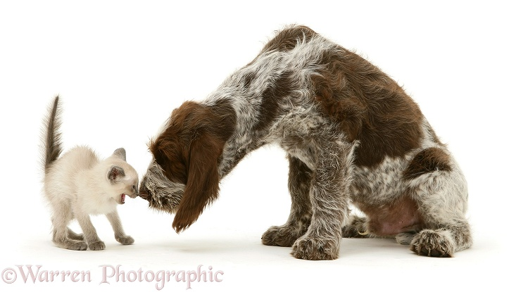 Siamese kitten alarmed by Brown Roan Italian Spinone pup Wilson, 12 weeks old, white background