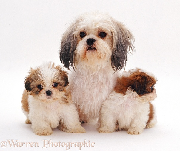 Shih-tzu bitch Daisy with two pups, 7�weeks�old, white background