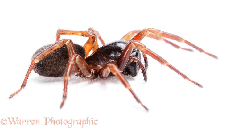 Ground-living spider (Coelotes terrestris).  Europe, white background