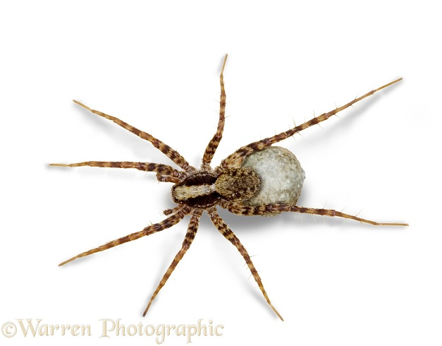 Meadow Spider (Pardosa saltans) female carrying egg sac.  Europe, white background