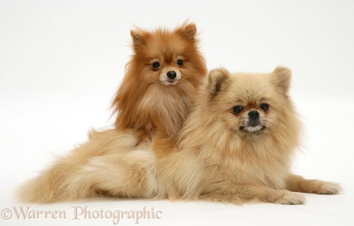 Pomeranian mother and pup, white background