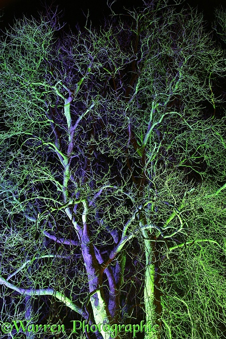 Flood-lit trees.  Gloucestershire, England