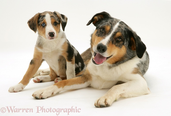 Merle Border Collie dog Kai with his merle pup Kailie, 8 weeks old, white background