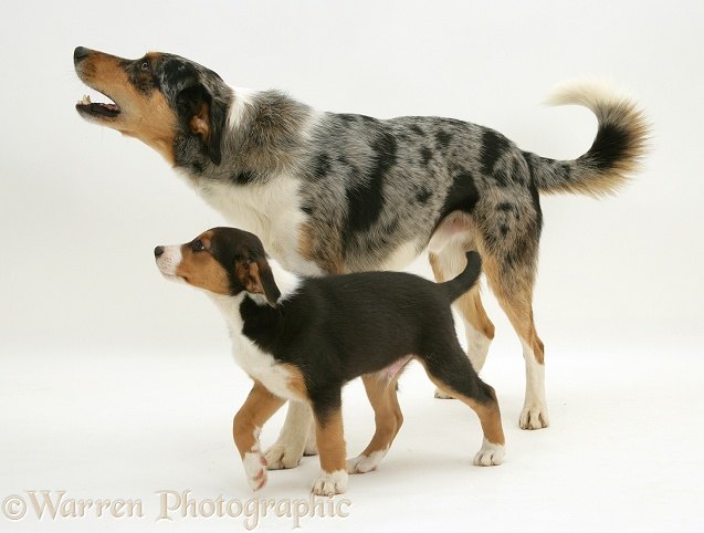 Merle Border Collie dog Kai walking with his tricolour son, 8 weeks old, white background