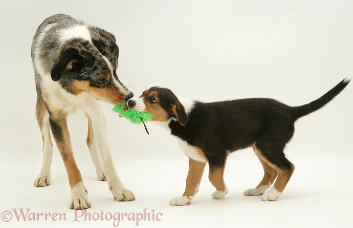 Merle Border Collie dog Kai playing tug with his tricolour son, 8 weeks old, white background