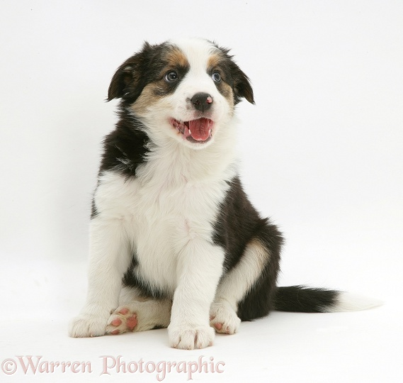Tricolour Border Collie pup, 8 weeks old, white background