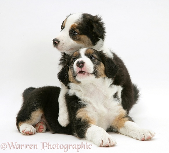 Two tricolour Border Collie pups, 8 weeks old brothers, white background