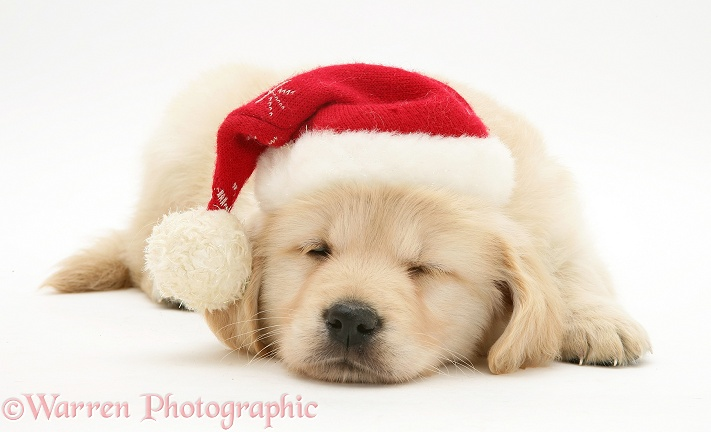 Golden Retriever pup asleep wearing a Santa hat, white background