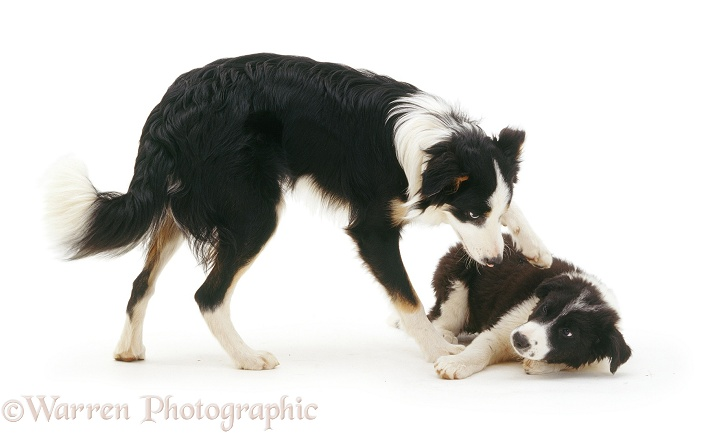 Border Collie pup Phoebe, 12 weeks old, bossed by Baloo, 8 months old, white background