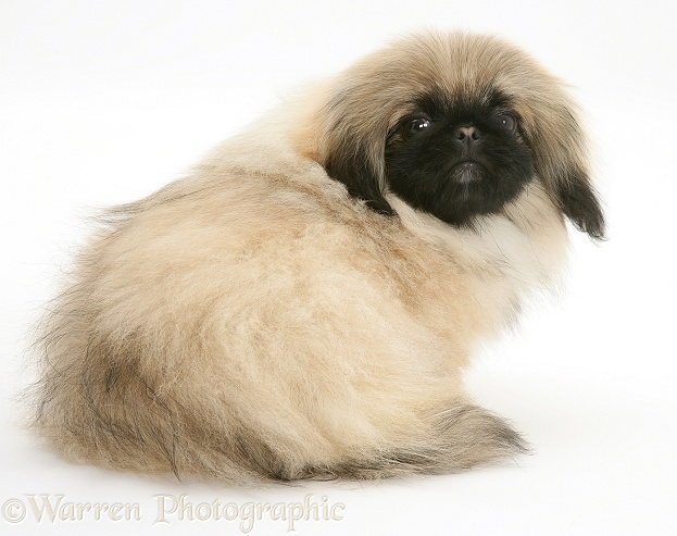 Pekingese pup, Mop, white background