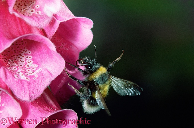 Garden Bumblebee (Bombus hortorum) visiting Foxglove (Digitalis purpurea).  Europe