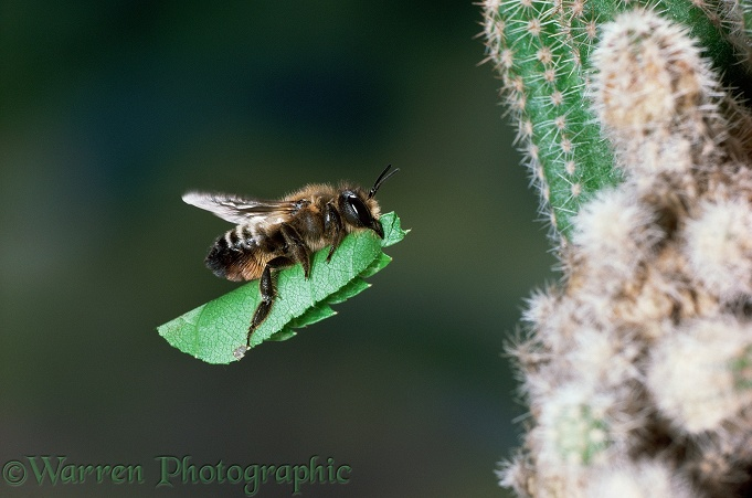 Leaf-cutting Bee (Megachile species) carrying section of birch leaf to nest under cactus.  Europe