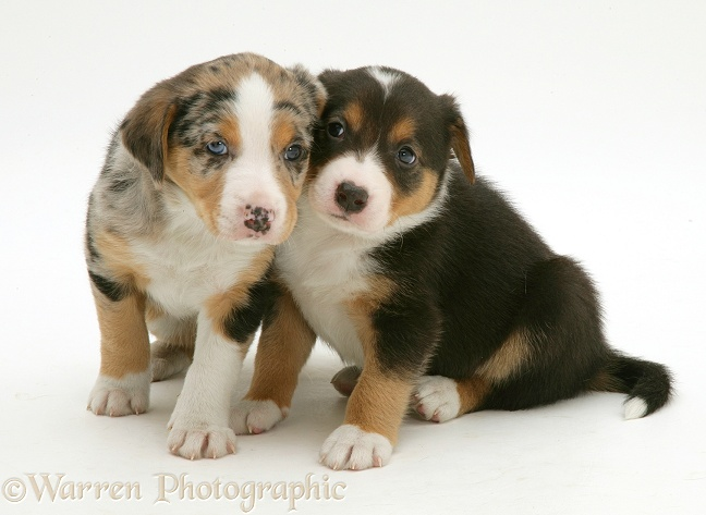 Merle & tricolour Border Collie pups, 8 weeks old, white background