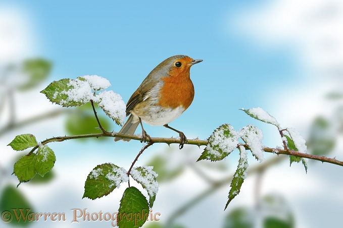 European Robin (Erithacus rubecula) on snowy bramble.  Europe