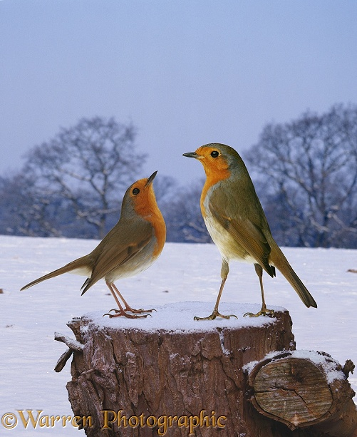 European Robin (Erithacus rubecula) males confronting each other.  Europe