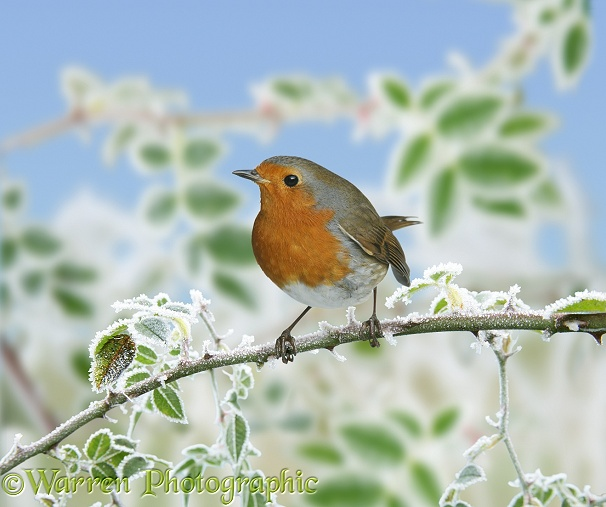 European Robin (Erithacus rubecula) on frosty briar.  Europe