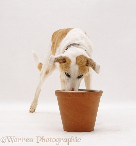 Gold and white Collie Lurcher bitch Mishka, 13 years old, eating from a raised bowl in a sturdy flower pot, white background