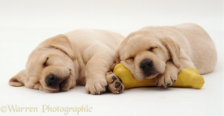 Two Yellow Labrador Retriever pups, 5 weeks old, asleep on a yellow rubber bone, white background
