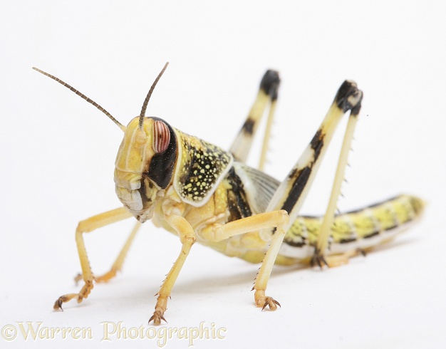 Desert Locust (Schistocerca gregaria) final instar nymph.  Africa and southern Europe, white background