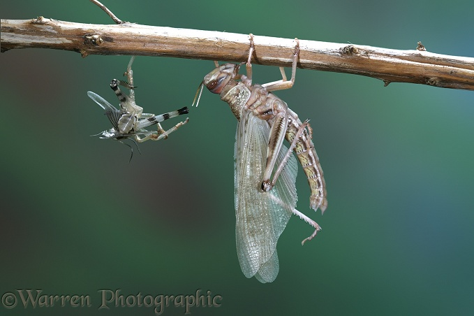 Desert Locust (Schistocerca gregaria) adult emerging from nymphal skin.  Series of six No. 5.  Africa and southern Europe