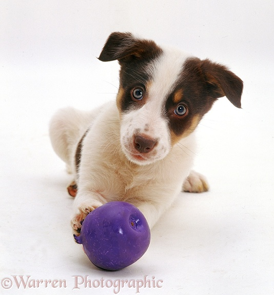 Chocolate tricolour Border Collie-cross bitch pup Hesta, 9�weeks�old, with a purple squeaky ball, white background