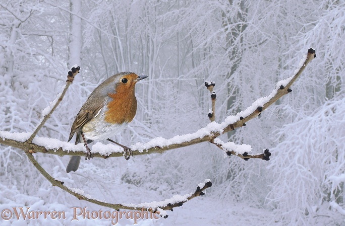 European Robin (Erithacus rubecula) perched on snow-covered ash twig bearing hibernating Orange Ladybirds (Halyzia 16-punctata).  Europe