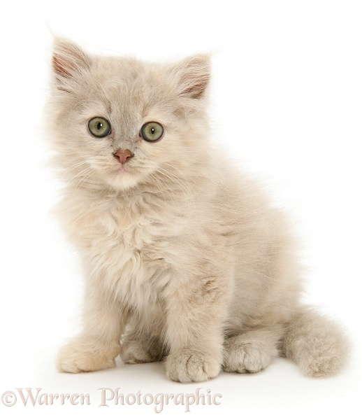 Lilac-tortoiseshell Persian-cross Thomasina kitten, white background