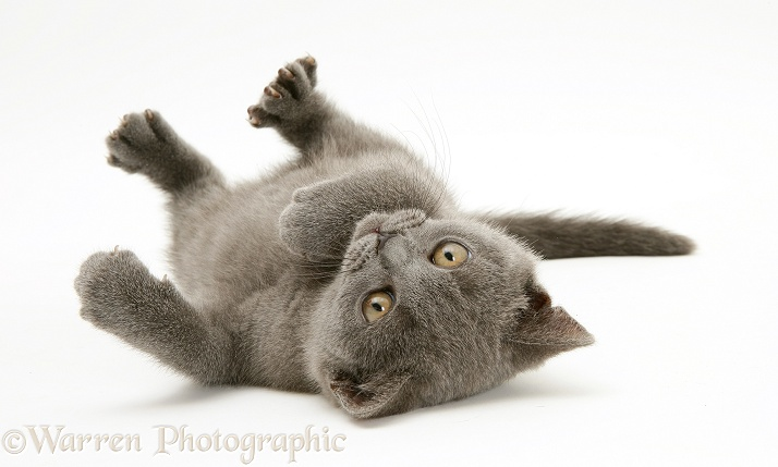 British Shorthair blue kitten, Taz, 7 weeks old, rolling on his back, white background