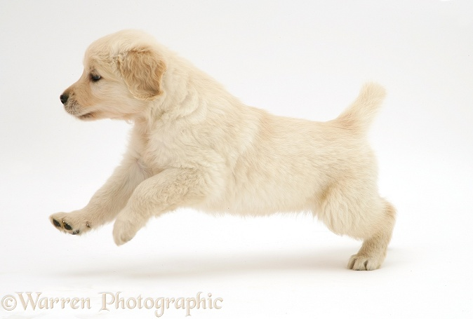 Dog Golden Retriever Puppy 9 Weeks Old Running Across Photo Wp14098