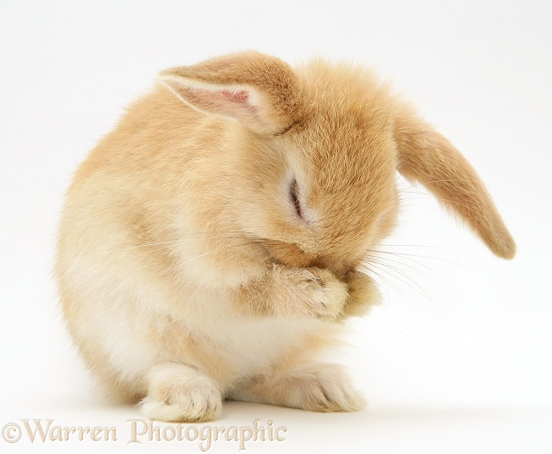 Baby Sandy Lop rabbit washing its paws, white background