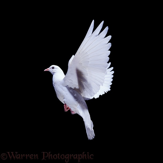 White dove (Columba livia) in flight.  Worldwide