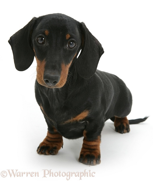 Black-and-tan Dachshund pup, white background