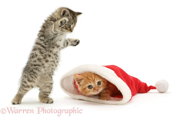 A playful tabby kitten pounces on a ginger kitten as he pokes his head out from a Father Christmas hat, white background