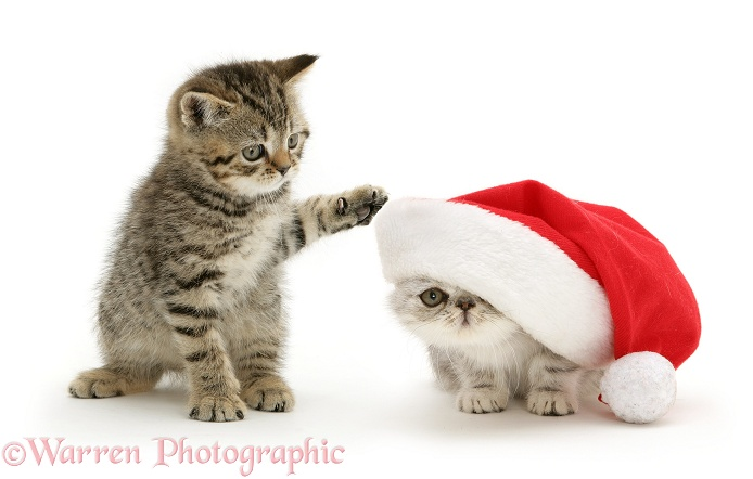 A playful tabby kitten dabs at a silver Exotic kitten in a Father Christmas hat, white background
