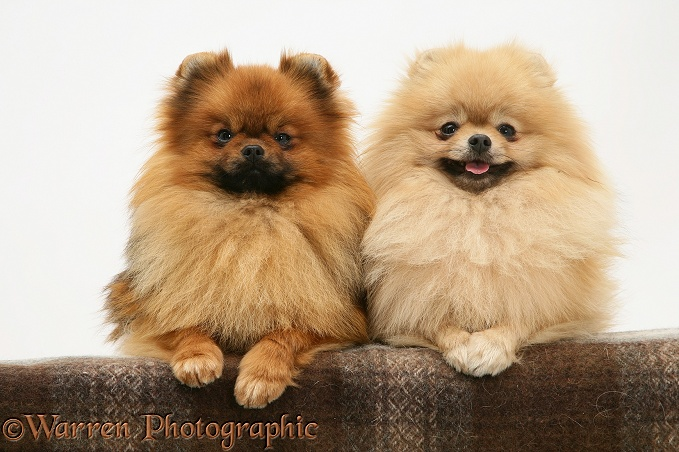 Two Pomeranians with paws over, white background