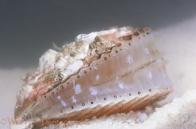 Queen Scallop (Chlamys opercularis) showing rudimentary eyes.  Atlantic