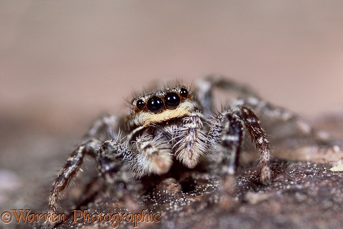 Jumping Spider (Marpissa muscosa) female showing forward-facing eyes.  Europe