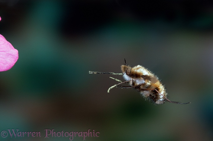 Bee Fly (Bombylius major) hovering in front of a flower.  Europe