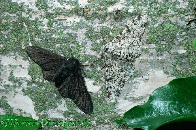Peppered Moth (Biston betularia) normal and melanic forms on a birch trunk.  England